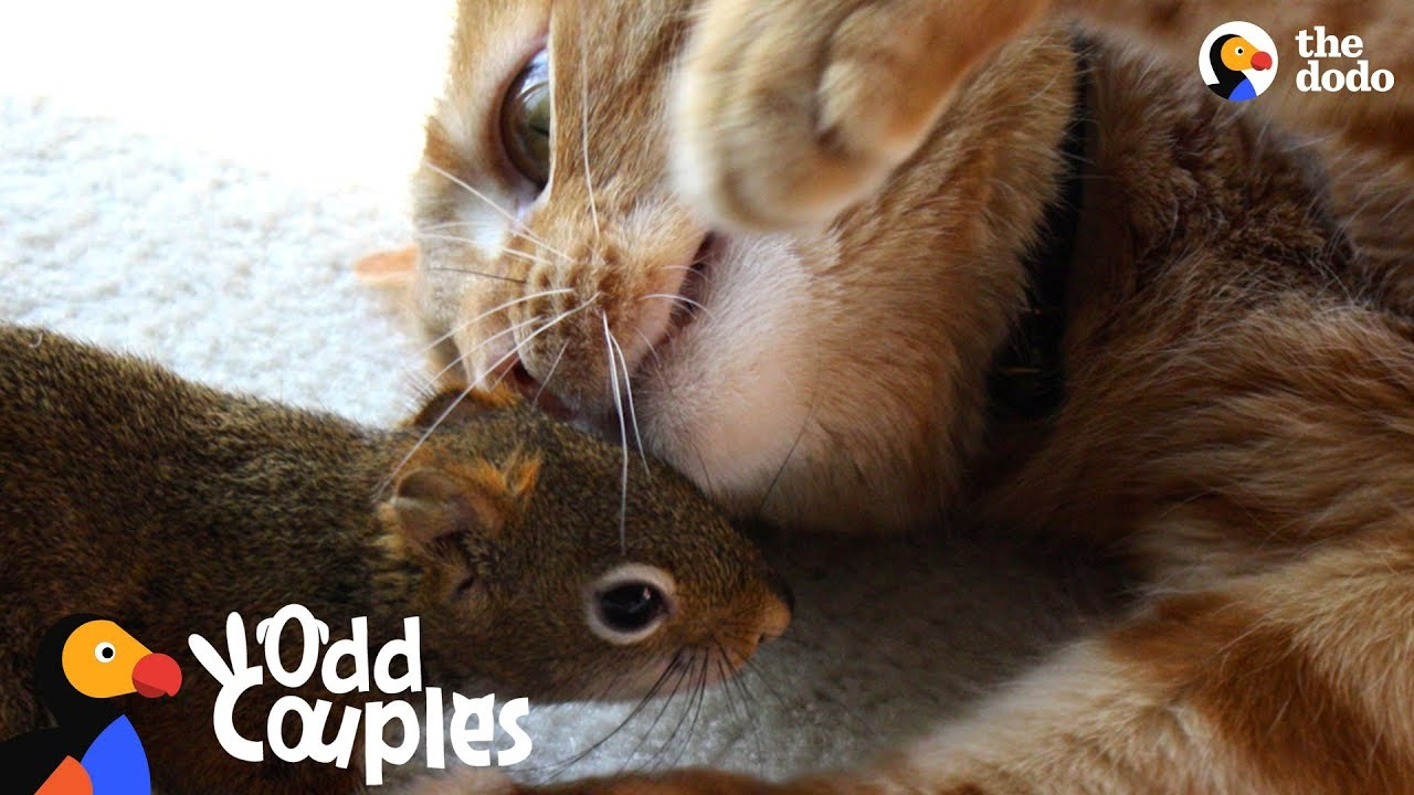 Cat Is SO Gentle With His Squirrel Brother | The Dodo Odd Couples