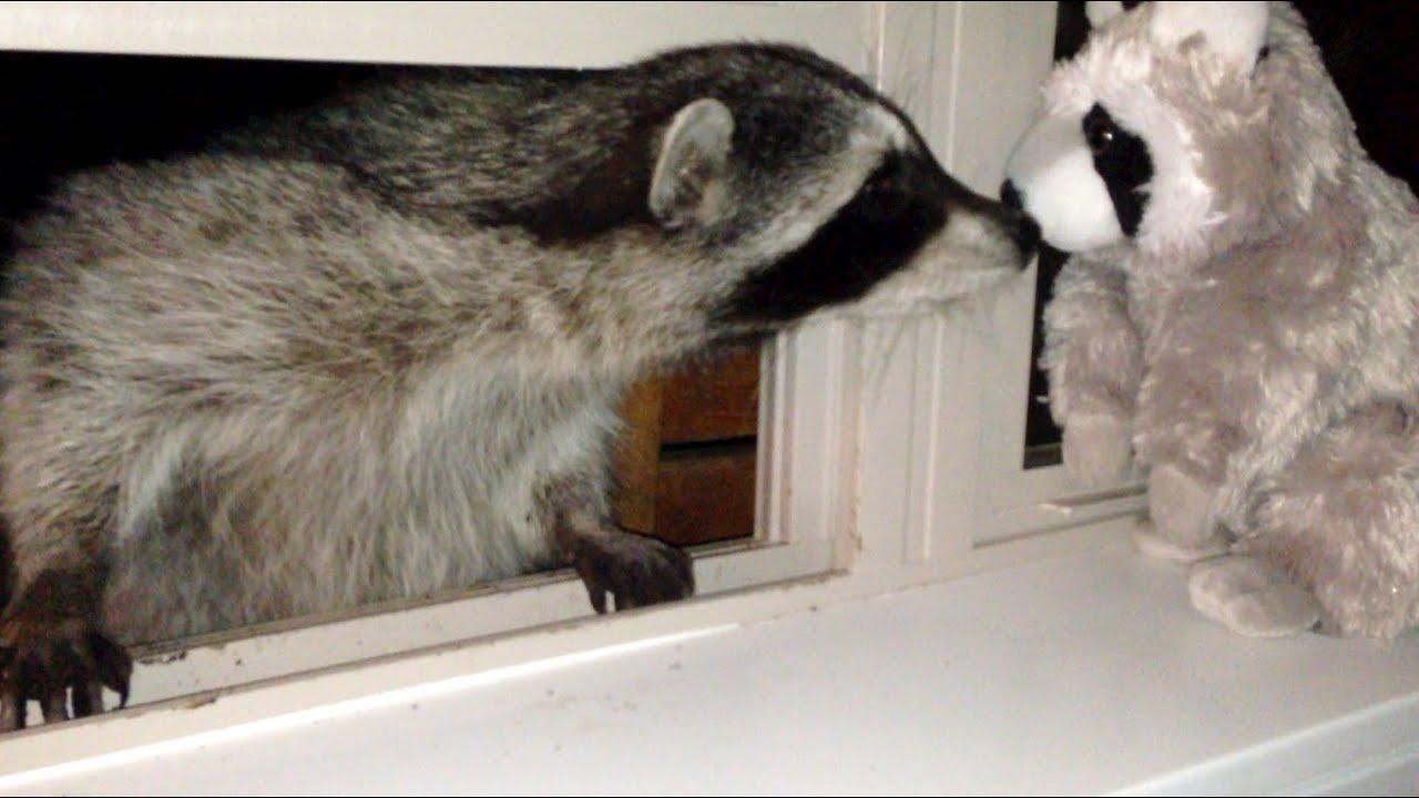 raccoon kisses toy raccoon youtube