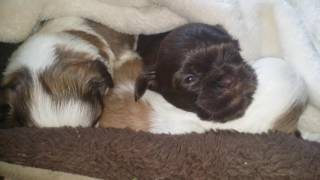 cute shih tzu almost 3 weeks now and first time they howling.