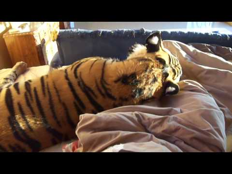 Living with Enzo the tiger