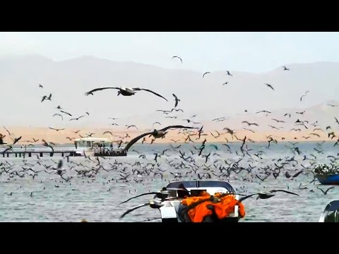 Seabirds diving for fish in Paracas, Peru 2.0
