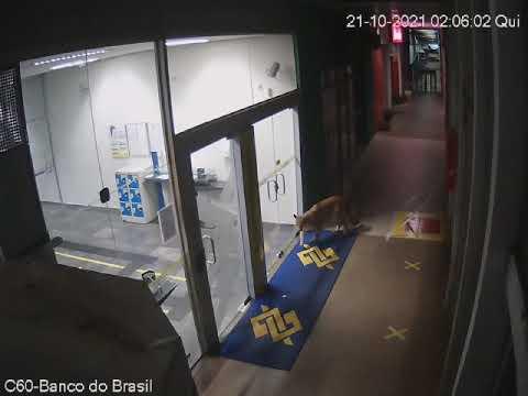 Onça-parda é flagrada em passeio pela Ceasa Campinas