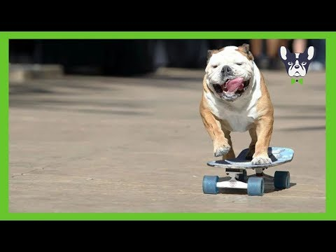 Funny Dogs Skateboarding Compilation 🌈 Dogs Community