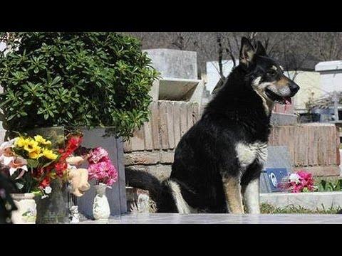 Dog Stands Guard Over Deceased Owner S Grave