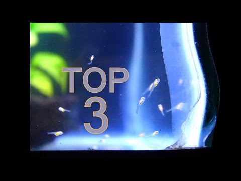 Top 3 Things You Need For Your Angelfish Fry Tank