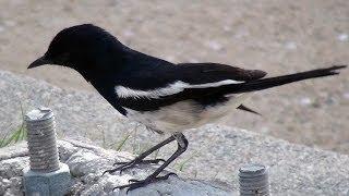 Сорочий шама-дрозд (сорочья славка). Oriental Magpie-Robin