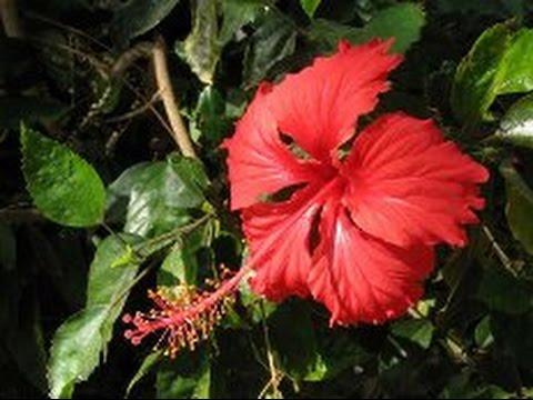 Гибискус Почему не цветет гибискус? Обрезка гибискуса Why don't bloom hibiscus?