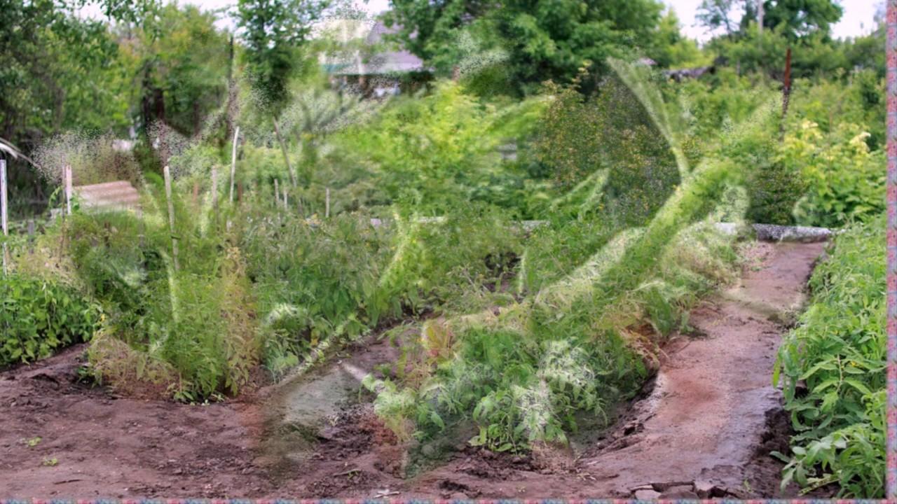 Вы тоже неправильно удаляете листья на помидорах  Соседка дала совет