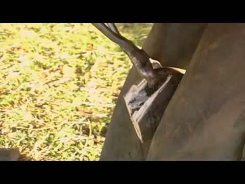 Amazing Horse Rescue- Laminitis