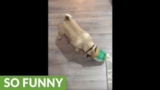Pug gets head stuck in peanut butter jar
