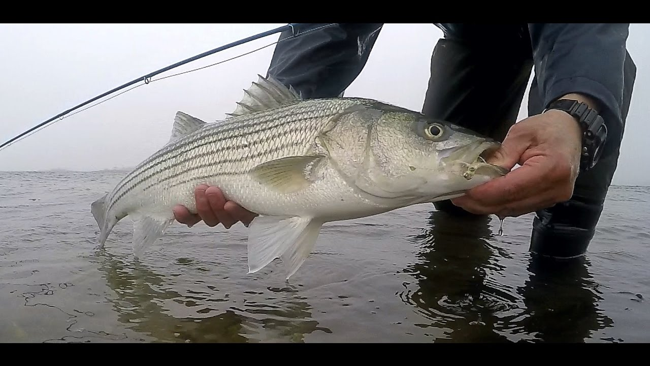 the beginning striped bass 2017 spring fishing season on
