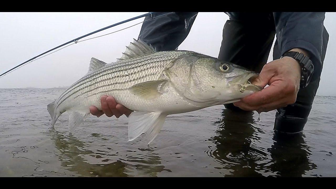 the beginning striped bass 2017 spring fishing season on