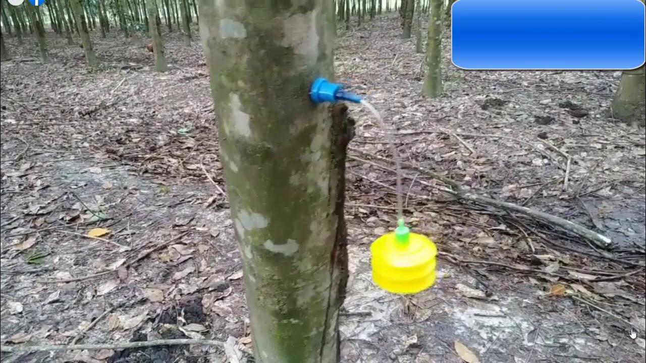 Áp khí ethylen, công nghệ mới, làm rất nhanh cho vườn cây cao su giống Lai Hoa 952