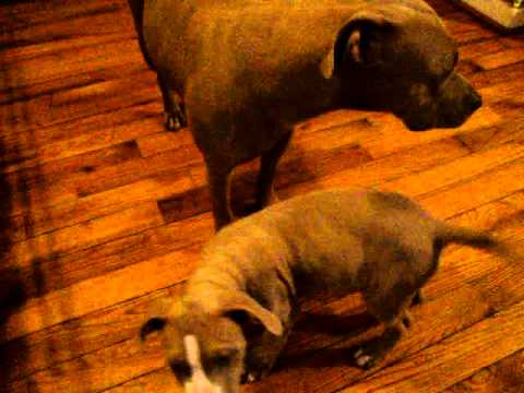 Pit Bull Puppies ADBA FOR SALE 2011