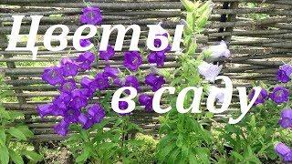 видео Многолетние цветы для цветника - какие растут дольше всех