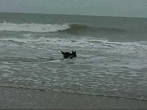 scottish terrier bobby our superstar