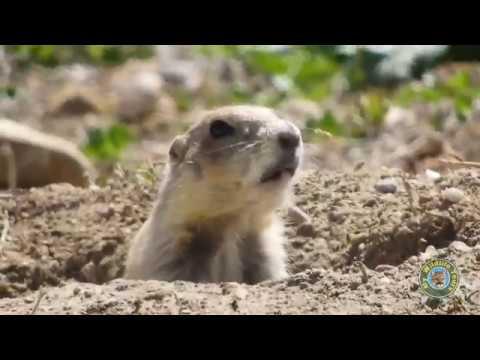 Prairie Dog barking 4K