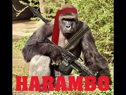 what is harambe meme know your meme youtube