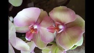 🌸Продажа орхидей по Украине.  Отправка в любую точку. (завоз 12 июля 19 г.) ЗАМЕЧТАТЕЛЬНЫЕ КРАСОТКИ