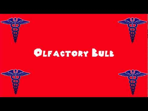 Pronounce Medical Words ― Olfactory Bulb