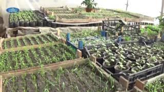 видео Посадка бархатцев на рассаду - когда сеять семена в 2018 году и как правильно провести работы