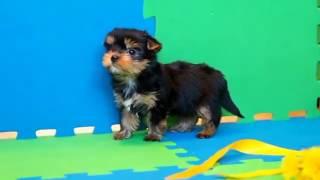 Купить щенка йоркширского терьера МИНИ с мордочкой БЕБИ-ФЕЙС 3 месяца
