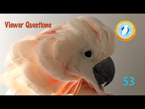 Cockatude 53 Viewer Questions, Cockatoos with attitude