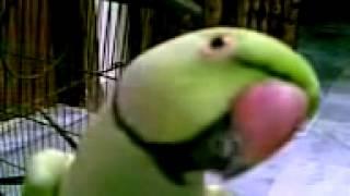 talking parrot in urdu