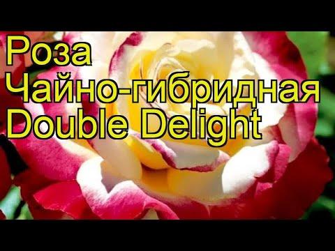 Роза чайно-гибридная Double Delight. Краткий обзор, описание характеристик, где купить саженцы