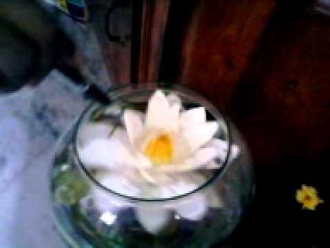 Lotus flower blooming video youtube mightylinksfo