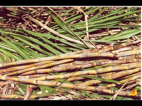 Curso a Distância Cultivo de Cana-de-açúcar para Produção de Cachaça