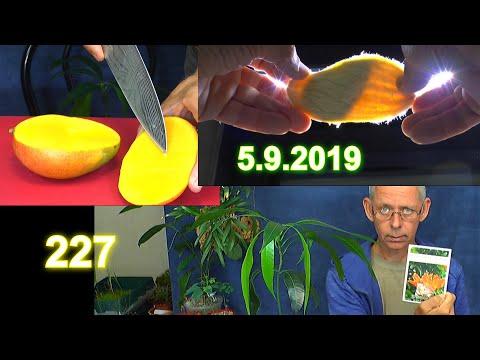 mango-samen-vorbereiten-und-wie-wächst-die-mango-als-pflanze-plus-updates-der-exoten