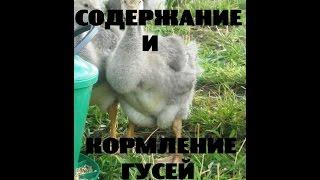 Содержание и кормление гусей. Птицеводство // КХ Алексеевых