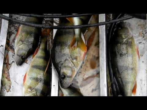ловля сазана в апреле на нижней волге видео