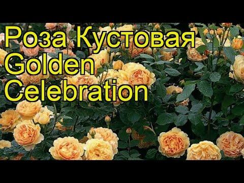 Роза кустовая Golden Celebration. Краткий обзор, описание характеристик, где купить саженцы