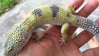 New Leopard Gecko Project HD