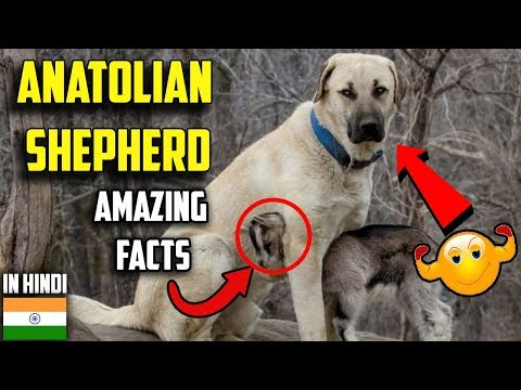 Anatolian shepherd dog | amazing facts in hindi | Animal Channel Hindi