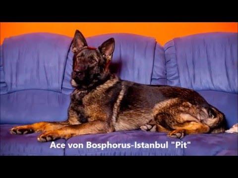 "Ace von Bosphorus-Istanbul ""Pit"""