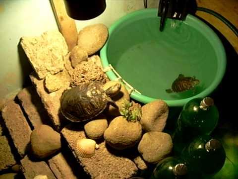 Tortugas de orejas rojas youtube for Filtro para estanque de tortugas