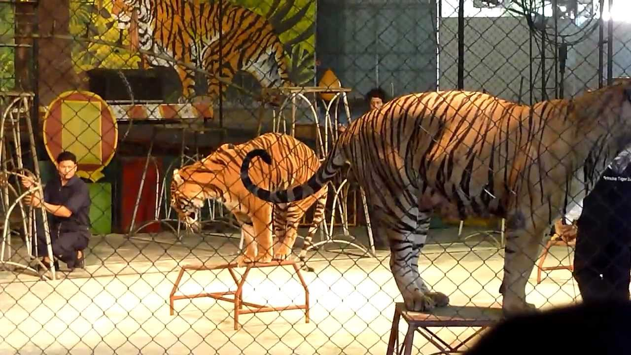 Vietnam 2013 thailand sriracha tiger zoo show youtube - Show me a picture of the tiger ...