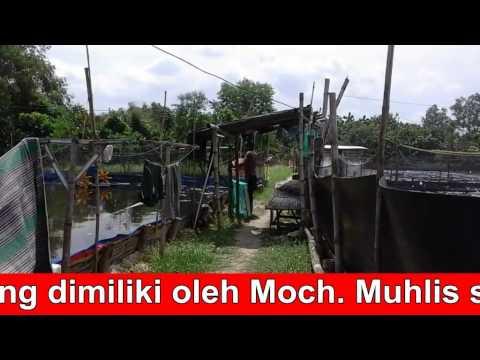 Budidaya Udang Vannamei kolam terpal Pokdakan BINA USAHA Kecamatan Kwanyar Kabupaten Bangkalan