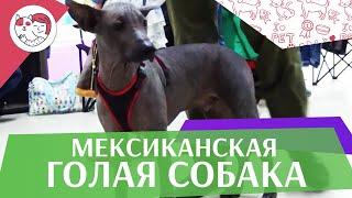 Мексиканская голая собака на ilikepet. Особенности породы, уход