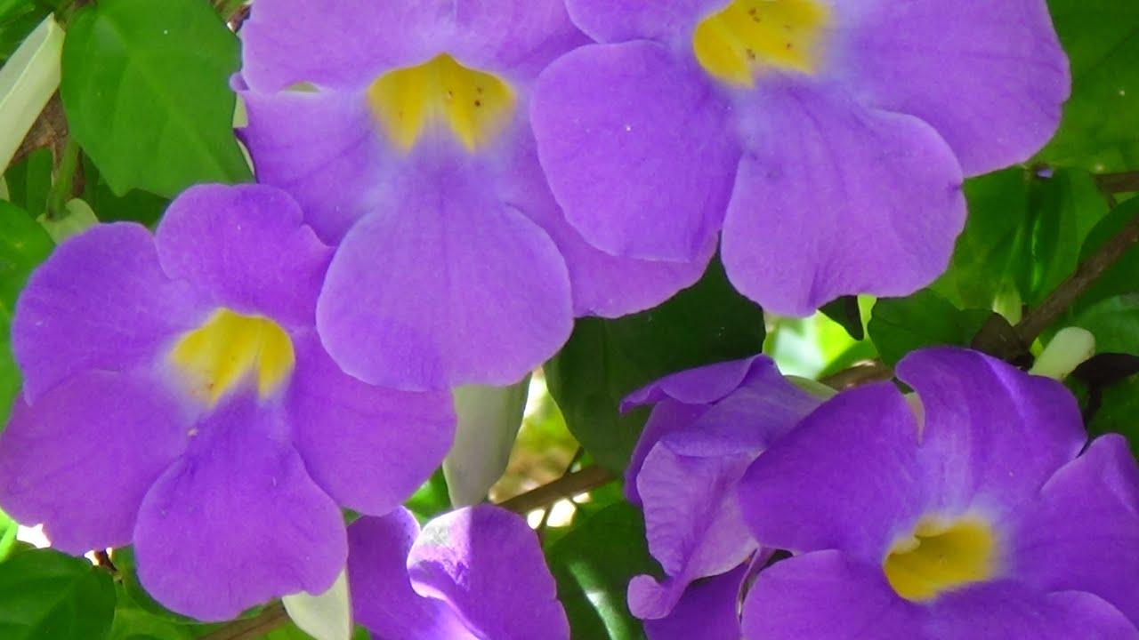 Thunbergia erecta como fazer mudas plantas decorativas for Plantas decorativas hidroponicas
