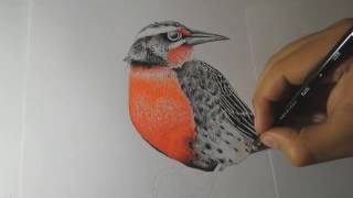 How to Draw a Bird With Colored Pencil Step by Step - Timelapse