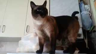 Бойцовый тайский кот Куст