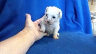 Cutest Tiny Teacup Poodle For Sale.