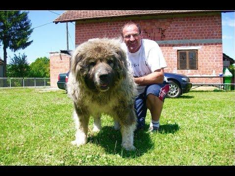BEAR OR DOG ? ? ?   It is a female CAUCASIAN SHEPHERD