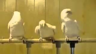 Танцующие попугаи(, 2014-06-21T04:56:00.000Z)