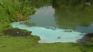 Uniek verschijnsel: Bloeiende blauwalg in Paterswoldsemeer