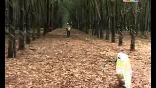 Video | Chuyên đề Công Ty Ngọc Tùng CHĂM SÓC CÂY CAO SU MÙA MƯA | Chuyen de Cong Ty Ngoc Tung CHAM SOC CAY CAO SU MUA MUA